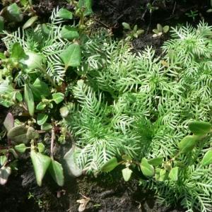 Photographie n°24062 du taxon Hottonia palustris L.