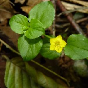Photographie n°24078 du taxon Lysimachia nemorum L.