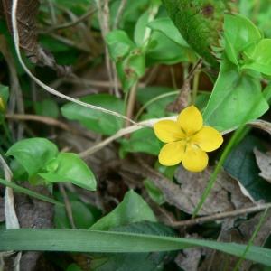 Photographie n°24085 du taxon Lysimachia nemorum L.