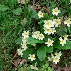 Photographie n°24093 du taxon Primula vulgaris Huds. [1762]