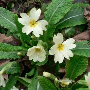 Photographie n°24102 du taxon Primula vulgaris Huds. [1762]