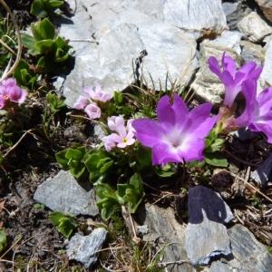 Photographie n°24107 du taxon Primula integrifolia L. [1753]