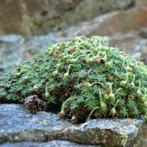 Androsace pyrenaica Lam. (Androsace des Pyrénées)