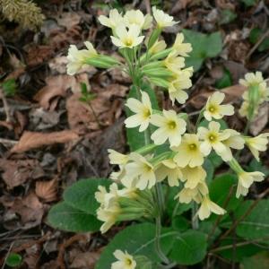 Photographie n°24122 du taxon Primula elatior subsp. elatior