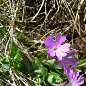Photographie n°24129 du taxon Primula integrifolia L. [1753]
