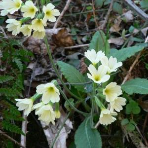 - Primula elatior subsp. elatior
