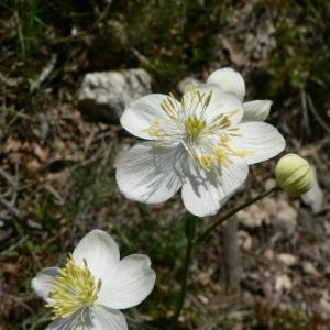 Photographie n°24145 du taxon Thalictrum tuberosum L. [1753]