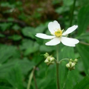 Photographie n°24146 du taxon Ranunculus aconitifolius L. [1753]