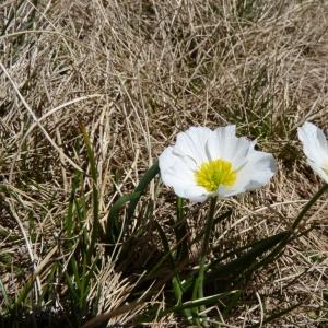 Photographie n°24147 du taxon Ranunculus pyrenaeus L.