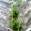 Mathieu MENAND - Ranunculus thora L.