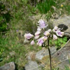 Photographie n°24152 du taxon Thalictrum aquilegiifolium L. [1753]