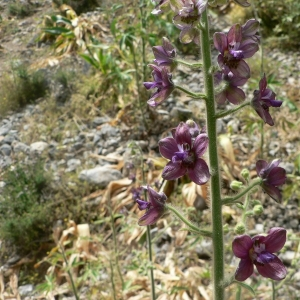Photographie n°24154 du taxon Delphinium staphisagria L.