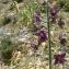 Mathieu MENAND - Delphinium staphisagria L.