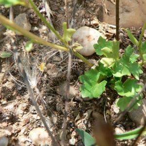 Photographie n°24155 du taxon Ranunculus sardous Crantz