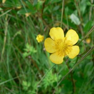 Photographie n°24157 du taxon Ranunculus repens L. [1753]