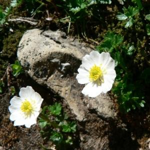 Photographie n°24160 du taxon Ranunculus alpestris L.