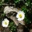 Mathieu MENAND - Ranunculus alpestris L.