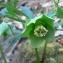 Mathieu MENAND - Helleborus viridis L. [1753]