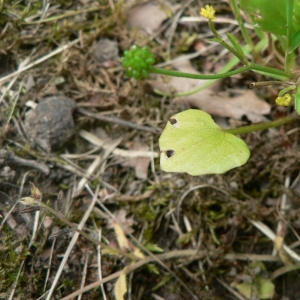 Photographie n°24166 du taxon Ranunculus ophioglossifolius Vill.