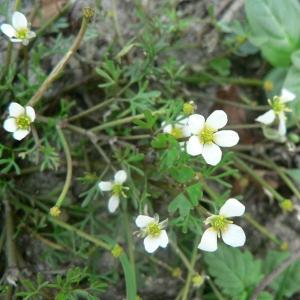 Ranunculus ololeucos var. fluitans Gren. (Renoncule à pétales blancs)
