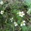 Mathieu MENAND - Ranunculus ololeucos J.Lloyd