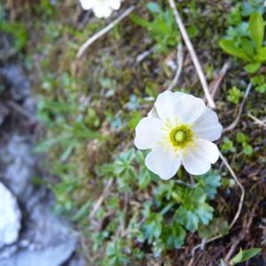 Photographie n°24178 du taxon Ranunculus alpestris L.