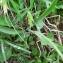 Mathieu MENAND - Ranunculus kuepferi Greuter & Burdet