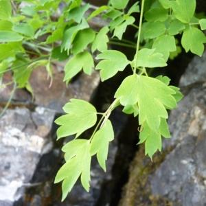 Thalictrum macrocarpum Gren. [1838] (Pigamon à grands fruits)