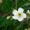 Mathieu MENAND - Ranunculus aconitifolius L. [1753]