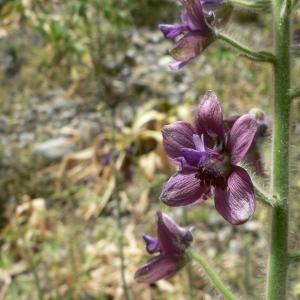 - Delphinium staphisagria L.