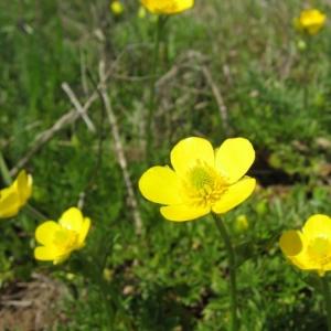 Photographie n°24216 du taxon Ranunculus paludosus Poir.