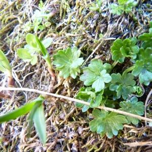 Photographie n°24237 du taxon Ranunculus alpestris L.