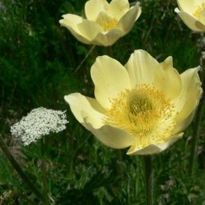 Photographie n°24242 du taxon Pulsatilla alpina subsp. apiifolia (Scop.) Nyman [1878]