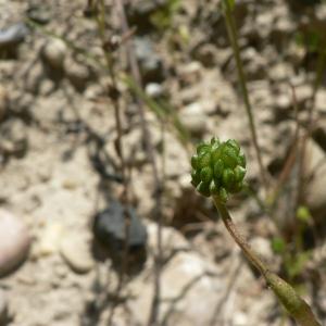 Photographie n°24250 du taxon Ranunculus sardous Crantz