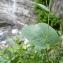 Mathieu MENAND - Ranunculus thora L. [1753]