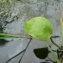 Mathieu MENAND - Ranunculus ophioglossifolius Vill.