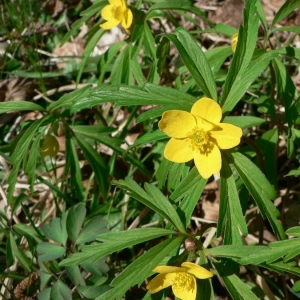 Photographie n°24269 du taxon Anemone ranunculoides L.