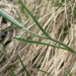 Photographie n°24270 du taxon Ranunculus pyrenaeus L.