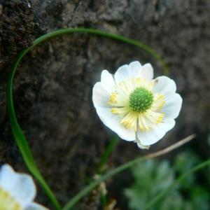 Photographie n°24272 du taxon Ranunculus alpestris L.