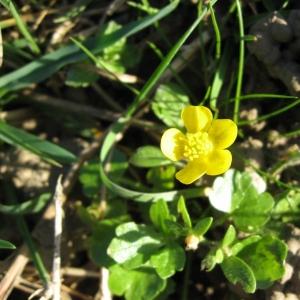 Photographie n°24273 du taxon Ranunculus sardous Crantz