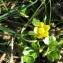Mathieu MENAND - Ranunculus sardous Crantz