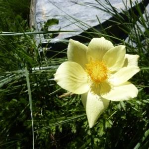 Photographie n°24276 du taxon Pulsatilla alpina subsp. apiifolia (Scop.) Nyman [1878]