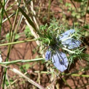 Photographie n°24293 du taxon Nigella damascena L. [1753]