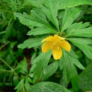 Photographie n°24297 du taxon Anemone ranunculoides L.