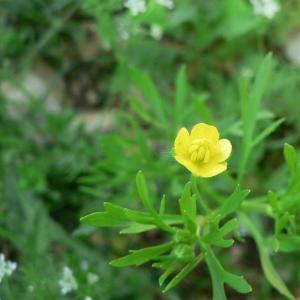 Photographie n°24301 du taxon Ranunculus arvensis L. [1753]