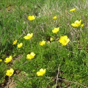 Photographie n°24304 du taxon Ranunculus paludosus Poir.