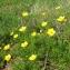 Mathieu MENAND - Ranunculus paludosus Poir.