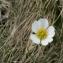 Mathieu MENAND - Ranunculus pyrenaeus L.