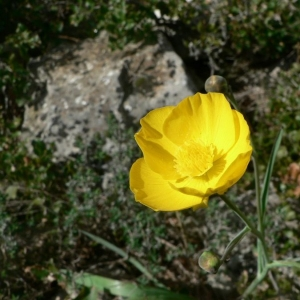 Photographie n°24311 du taxon Ranunculus gramineus L. [1753]