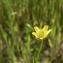 Mathieu MENAND - Ranunculus arvensis L. [1753]